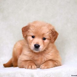 Angie/Female /Female /Golden Retriever Puppy