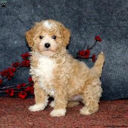 Dandy/Male /Male /Mini Goldendoodle Puppy