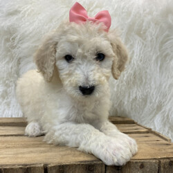 Opal/Poodle/Female/,Introducing Opal! She's a pampered and joyful little girl. Without a doubt, she'll be the favorite of your home in no time. Her favorite hobby other than playtime is spending time with you. When Opal arrives to her new home, she will have a nose to tail vet check and arrive with a current health certificate. Opal is an all-round healthy girl waiting for the perfect family to entertain. Wouldn't you love to have her? She can't wait to love you!