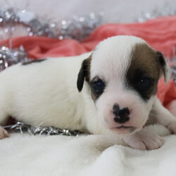 Zoey/Jack Russell Terrier/Female/