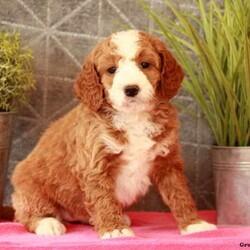 Whinnie/Female /Female /Mini Bernedoodle Puppy