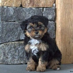 Rusty/Female /Female /Miniature Aussiedoodle Puppy