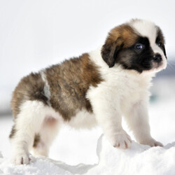Missy/Saint Bernard/Female/,Hi, I'm Missy, and I love to play! Everyone always tells me how beautiful I am! I always get very happy and excited when you're ready to play because that's what I live for! My parents are both built very beautifully, so I'm hoping to look just like them when I grow up! I love attention and meeting new people, but being your companion is my number one goal! I promise to always love you and be the light of your life! I will come to you with my vaccinations up to date, so I will be healthy and happy. Pick me! I'm super excited to meet you!