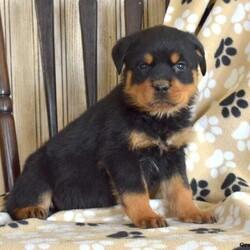 Kane/Male /Male /Rottweiler Puppy