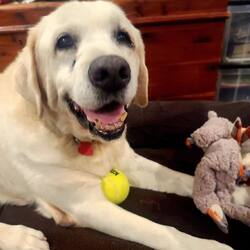 Adopt a dog:Caddo/Great Pyrenees/Male/Senior,Our senior boy, Caddo, has made so much progress since being abandoned in that outdoor shelter near Shreveport.   Now to help him find the perfect family to finish out his golden years. Caddo was unable to walk when he came to us last month. But, he is already showing huge progress on his medication. Imagine how well he will do with a little more time for the supplements and food to kick in!    Want to bring him this happy love buy home?  Visit Canerossorescue.org to apply.   Want to send him a gift?  He would love some joint supplements or all things cozy. The joint supplements are making a huge difference, and we would love to send him to his adopter with a couple months worth of them.   Chewy https://www.chewy.com/g/cane-rosso-rescue_b71822833 Amazon:  https://a.co/dQnhFLM  Thanks for considering a Cane Rosso Rescue dog!  We place dogs mostly in Texas but have adopted out a few out-of-state as well.   If you are interested in one of our dogs, please first complete our adoption application. You can find it at https://www.canerossorescue.org/adoption-application . His adoption fee is $150 plus tax. Our dogs are spayed or neutered, microchipped, vaccinated and heartworm tested and treated (if tested positive) before going to a new home. For more information, visit our website www.canerossorescue.org or email us at rescue@canerosso.com.