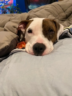 Pearl/Pit Bull Terrier/Female/Young