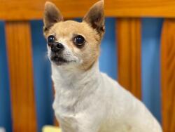MONA/Chihuahua/Female/Adult