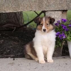 Alvin/Male /Male /Collie Puppy