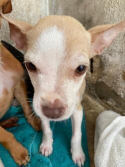 Kimble/Chihuahua/Female/Baby