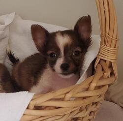 Taco/Chihuahua/Female/Young